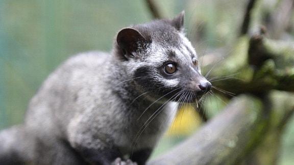 Fleckenmusang-Baby im Zoo von Pilsen