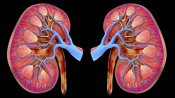 Medizinische Grafik einer Niere.