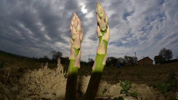 Grüner Spargel nach der Ernte
