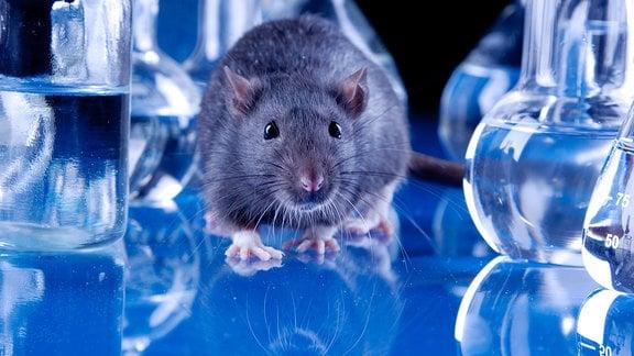Maus vor blauem Hintergrund mit Laborgefäßen