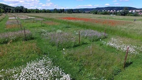 Biodiversitätsexperiment Wiese