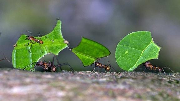 Blattschneiderameisen transportieren Blattstücke