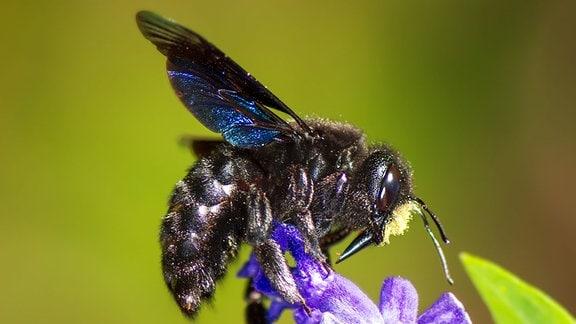 Blaue Holzbiene an Blüte.