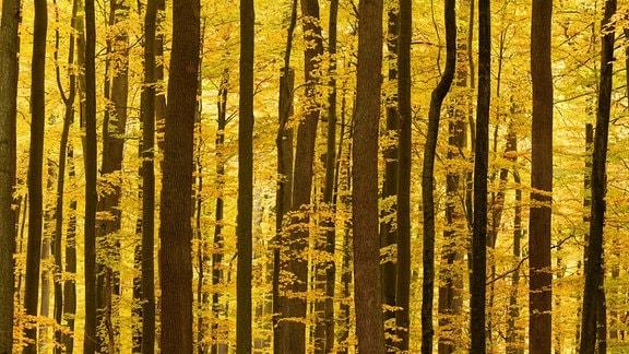 Blick in einen Wald voller eng stehender Bäume mit gelbem Laub. Baumkronen und Wurzelbereiche sind nicht zu erkennen.