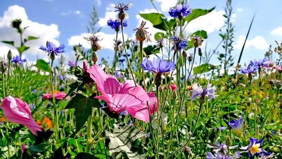 Malve in einer bunten Blumenwiese