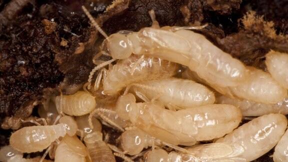 Termiten