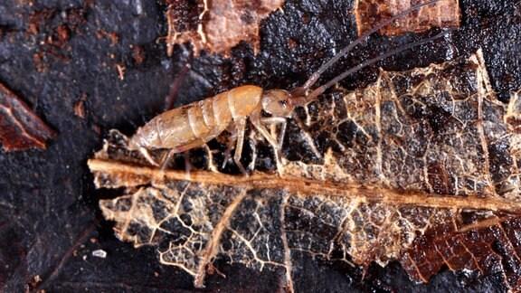 Großaufnahme eines winzigen Springschwanz-Insekts auf Erdboden, das an einem verrottenden Blattstück frisst. Insekt erinnert an eine längliche Ameise mit langen Fühlern.