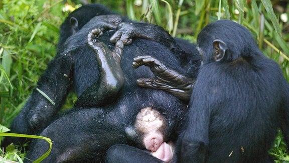 Drei Menschnaffen -- zwei Weibchen und ein Männchen -- beim Sex in höherem Gras. Ein Affe liegt, einer sitzt auf ihm und ein dritter dahinter.