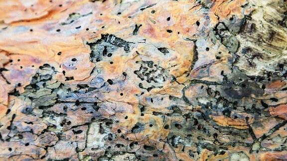 Typisches Schadbild an einem Kiefernstamm durch Borkenkäfer.