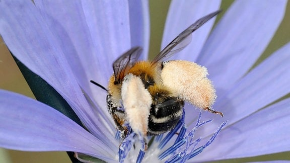 Braunbürstige Hosenbiene