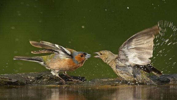 Buchfink (Fringilla coelebs), Paar streitet sich