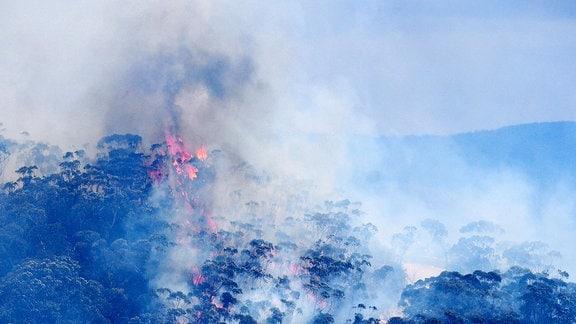 Buschfeuer von Eukalyptus-Bäumen in den Blue Mountains.
