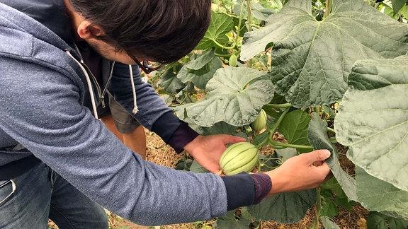 MDR-Reporter Max Heeke hat eine Honigmelone in der Hand, die im Gewächshaus der Gemüsekooperative Rote Beete in Taucha bei Leipzig wächst.