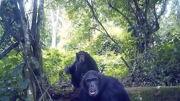 Wildtierkamera-Aufnahme zweier männlicher Schimpansen in einem Wald, die das seltsame Gerät mustern.