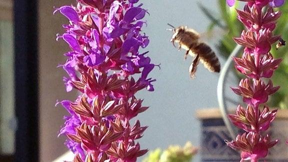 eine Biene im Anflug auf die Blüten einer Pflanze.