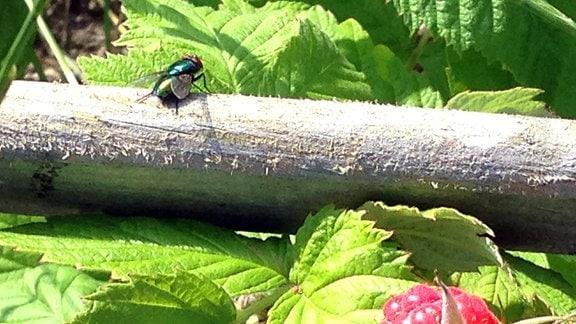 Eine Fliege sitzt auf einem Ast in einem Himbeerstrauch.