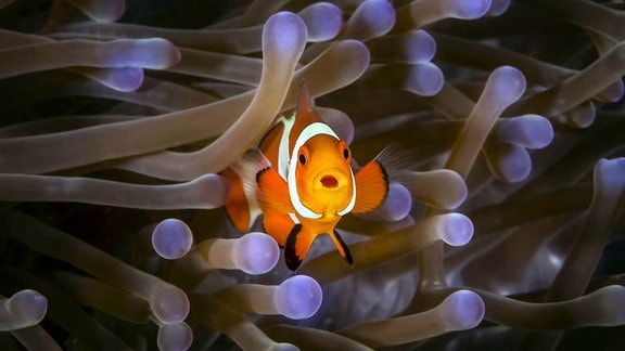 Clownfish (Amphiprioninae) in Anenome