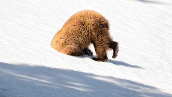 Im Yellowstone Park in den USA steckt ein Bär den Kopf in den Schnee.