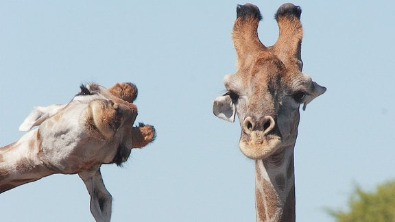 Zwei Giraffen, eine blickt lustig von der Seite ins Bild, die andere eher teilnahmslos