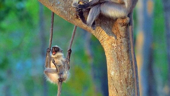 Affen am Baum