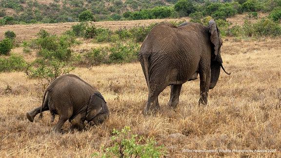 Zwei Elefanten, einer stürzt