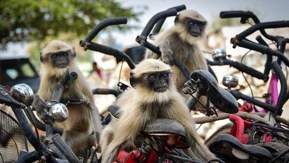 Affen auf Fahrrädern