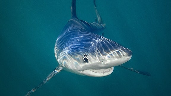 Ein Hai lächelt direkt in die Kamera