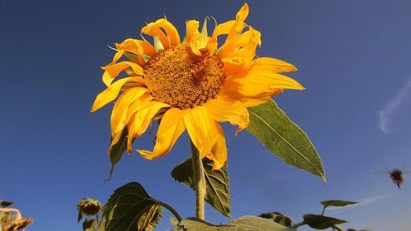 Verwelkende Sonnenblumen in der Abendsonne mit blauem Himmel auf einem Feld