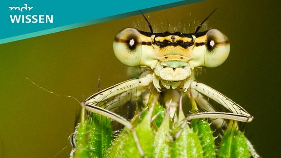 Große Insektenaugen, Nahaufnhame einer Libelle