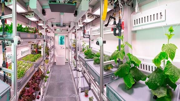 Der Gewächshaus-Container von innen. Links und rechts sind Regale angebracht auf denen die Pflanzen gezüchtet werden.