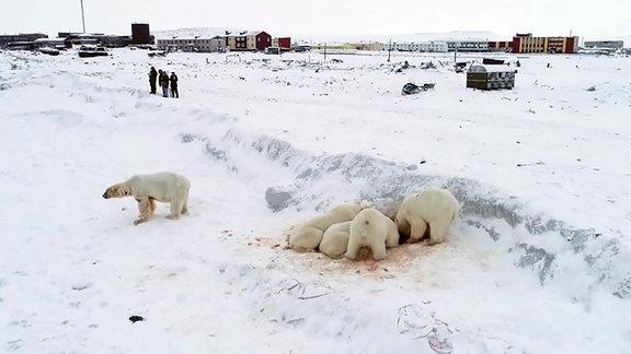 Im Bildvordergrund fressen Eisbären ein Beutetier, im Hintergrund des Bildes sieht man Menschen und eine Siedlung mit Häusern.