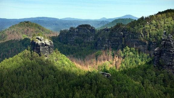 Abgestorbener Nadelwald in der sächsischen Schweiz