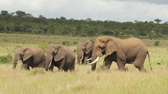 Elefantengruppe in der Natur
