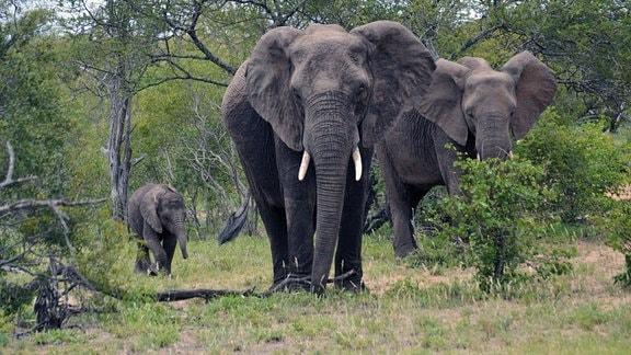 Drei Elefanten bewegen sich von dem Hintergrund von Bäumen auf den Betrachter oder die Betrachterin zu, ein Junges und zwei ausgewachsene Exemplare.