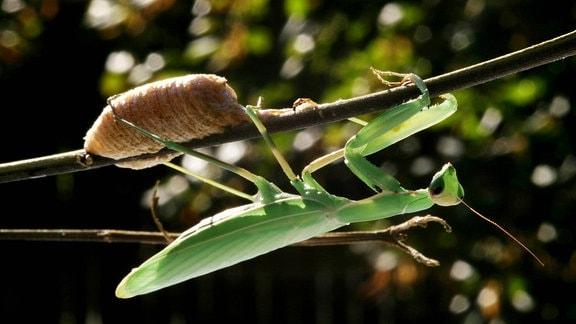 Europaeische Gottesanbeterin (Mantis religiosa), mit Eikokon an einem Zweig