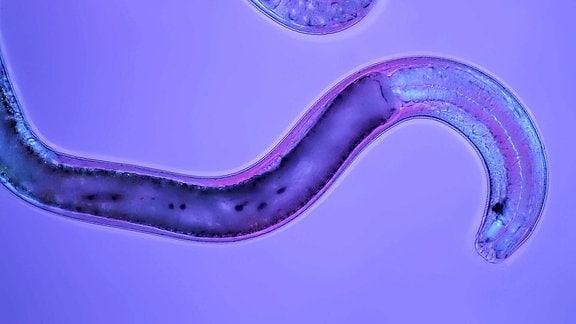 Fadenwurm, Nematode (Nematoda)