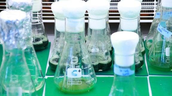 In mehreren kleinen Glasbehältern befindet sich grünliche Flüssigkeit, in der Blaualgen zu Forschungszwecken kultiviert werden.