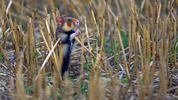 Hamster-Jungtier in abgeerntetem Getreidefeld frisst am Stroh.
