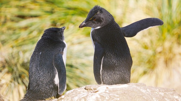 """Zwei Felsenpinguine auf den Falkland-Inseln. Das Bild ist einer der Finalisten um den """"Comedy Wildlife Photography Award 2018""""."""