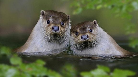 Otterpaar im Wasser