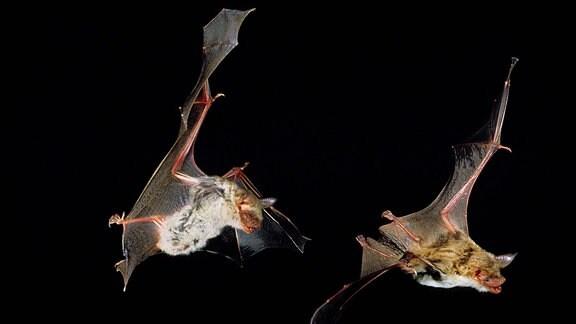 Zwei erwachsene Mausohrenfledermäuse (Myotis myotis) im Flug