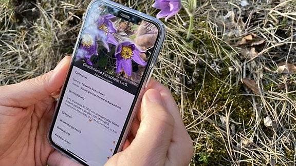 Die App Flora Incognita kann unbekannte Pflanzen bestimmen. Mithilfe der Standortdaten der erfassten Pflanzenarten entstehen außerdem wertvolle Datensätze