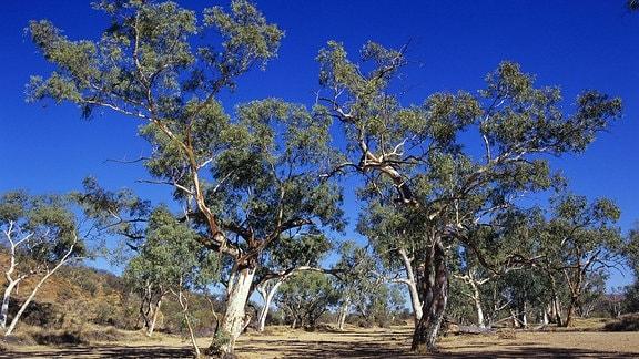 Fluss-Eukalyptus in ausgetrocknetem Flussbett