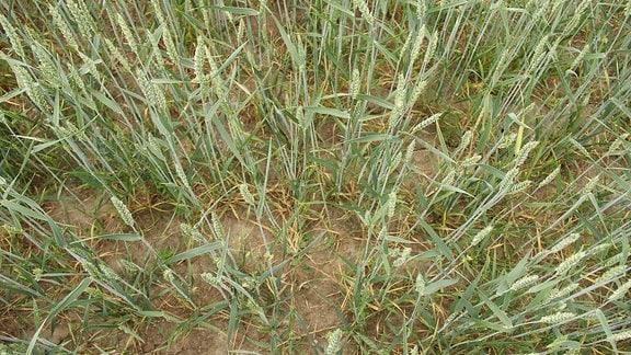 Blick auf ein Sommerweizenfeld, bei dem nur halb so viel Saatgut verwendet wurde, wie normalerweise üblich. Deshalb stehen die einzelnen Weizenhalme weiter auseinander.