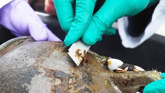 Mit einem Rasiermesser wird Algen-Material abgekratzt von einem