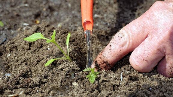 Gartenarbeit - Gemüse wird angepflanzt
