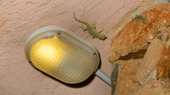 Gecko an einer Decke