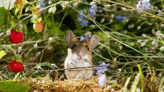 Gelbhalsmaus kommt neben einer Walderdbeere aus einem Mauseloch.