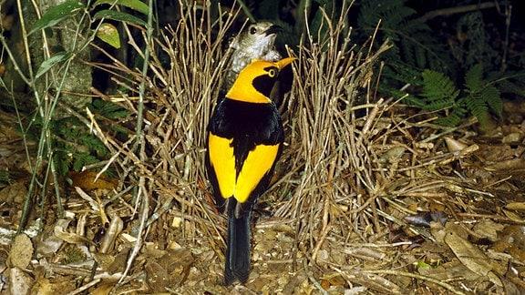 Ein gelb-schwarz-gefiederter Gelbnacken-Laubenvogel sitzt einem grau-brauen Weibchen gegenüber.