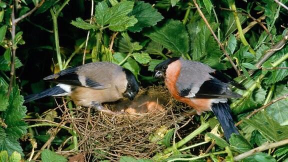 Gimpelpaar auf einem Nest